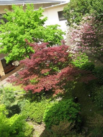 中庭のハナミズキがきれいに咲いてましたよ